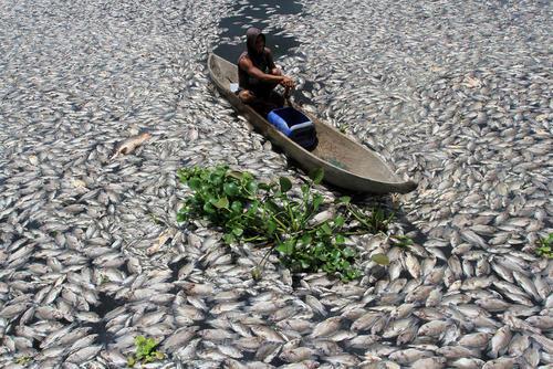 هزاران ماهی مرده در دریاچه مانینجائو در اندونزی به دلیل کمبود اکسیژن در آب