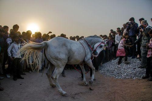 رقص اسب در جشنواره ای سنتی در راجستان هند