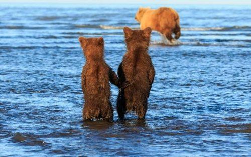 دو توله خرس چشم به راه تلاش مادر برای شکار ماهی در دریاچه ای در آلاسکا