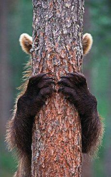 بالا رفتن خرس از درخت – فنلاند