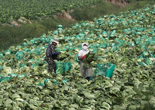 کشاورزان کره جنوبی در فصل برداشت محصول کلم چینی