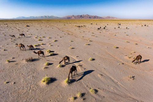 شترها در کویر سمنان