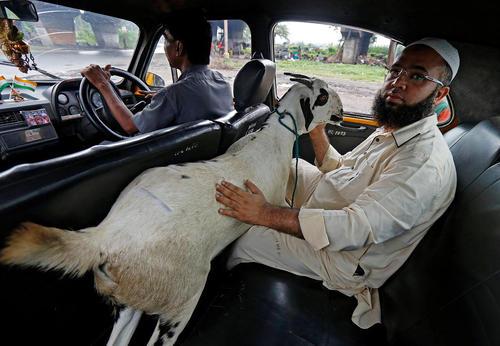 مرد مسلمان هندی با تاکسی در حال حمل بز خریداری شده  برای قربانی کردن در عید قربان است – کلکته