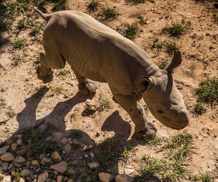 نخستین کرگدن متولد شده در باغ وحشی در آلمان- این کرگدن ماده دو هفته ای است