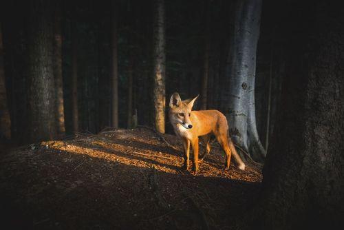 جنگلی در رومانی