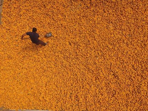 جمع آوری محصول ذرت از زمین های کشاورزی در لیائوچنگ چین