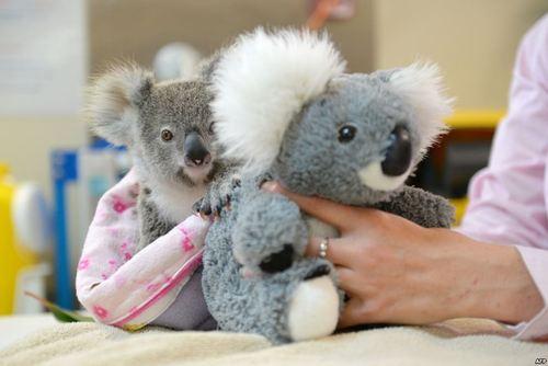 کوآلاهای باغ وحش استرالیا