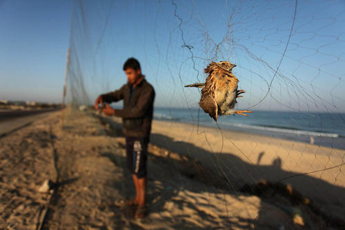 شکار بلدرچین های مهاجر در خان یونس در جنوب غزه