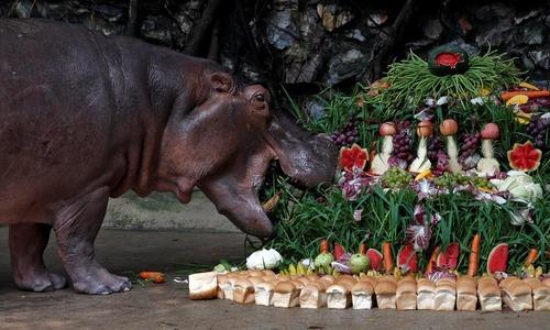تولد 50 سالگی اسب آبی باغ وحش بانکوک