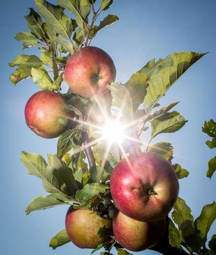 باغ سیب در فرانکفورت آلمان