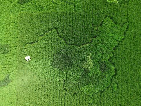 کشاورز چینی شکل کشورش را روی زمین ذرت درآورده است