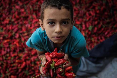 برداشت فلفل قرمز در باریکه غزه