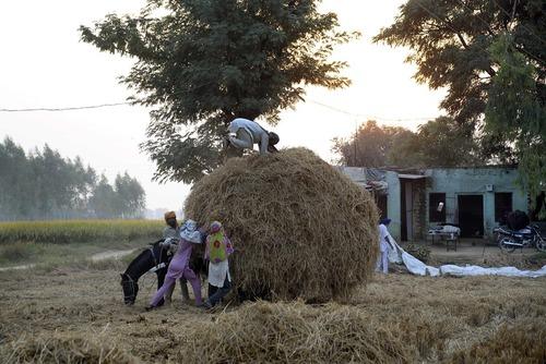 بار زدن علوفه روی گاری – روستایی در هند
