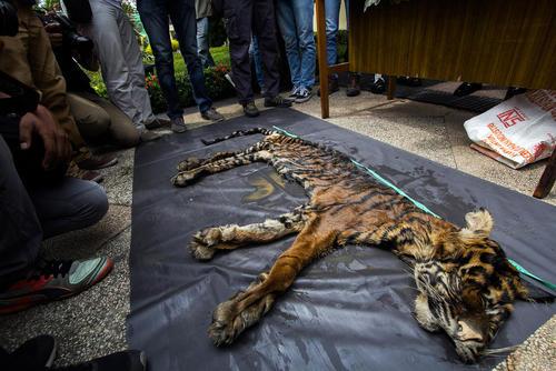 کشف یک پوست ببر سوماترایی قاچاق – مدان اندونزی