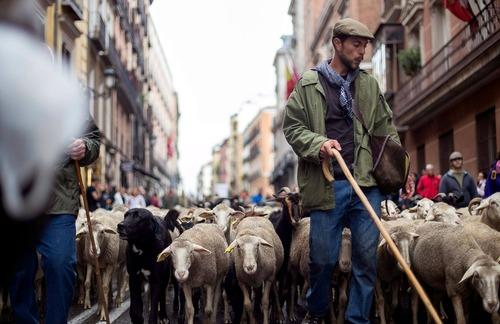 آوردن هزاران گوسفند به خیابان های شهر مادرید اسپانیا در قالب یک جشنواره سنتی سالانه