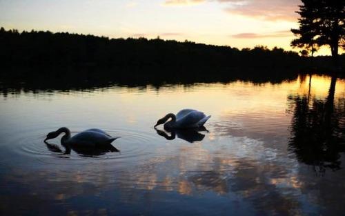 قوهای دریاچه ای در جنوب انگلیس