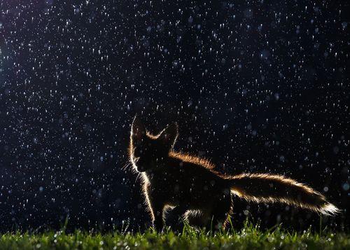 یک روباه در هوای بارانی در پارکی در مونترال کانادا