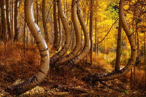 درختان قوسی در جنگلی در ایالت کلرادو آمریکا