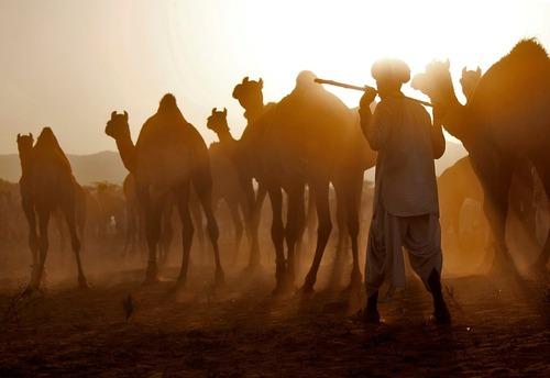 بازار فروش شتر در راجستان هند
