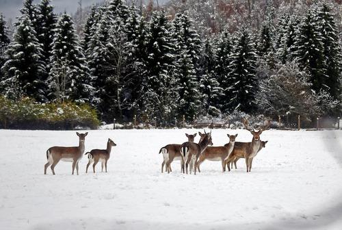 گوزن ها در جنگلی برفی در آلمان